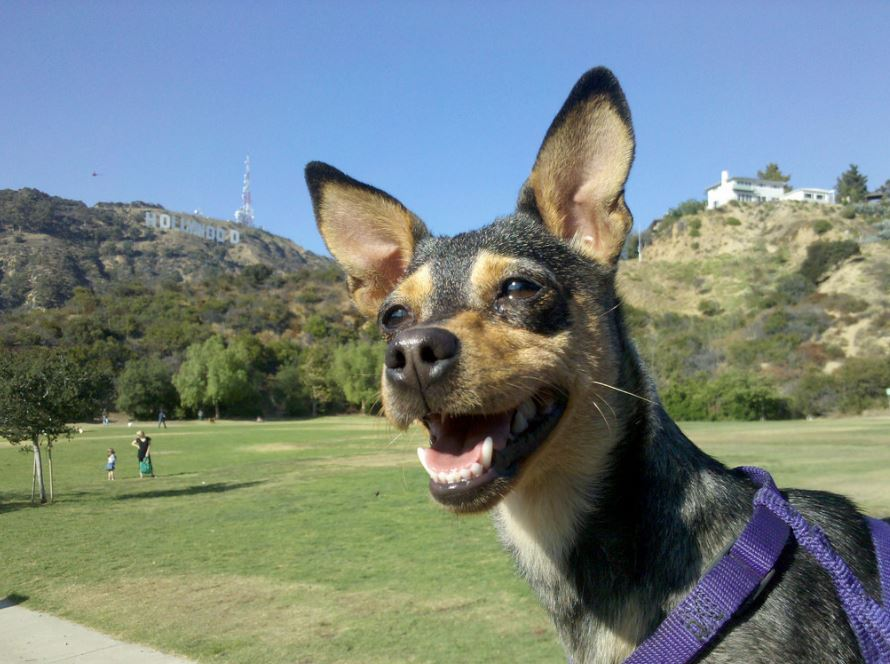 Rover's gone Hollywood! Considered L.A.'s best dog park, Lake Hollywood is nestled beneath the famous sign. Photo via Flickr.