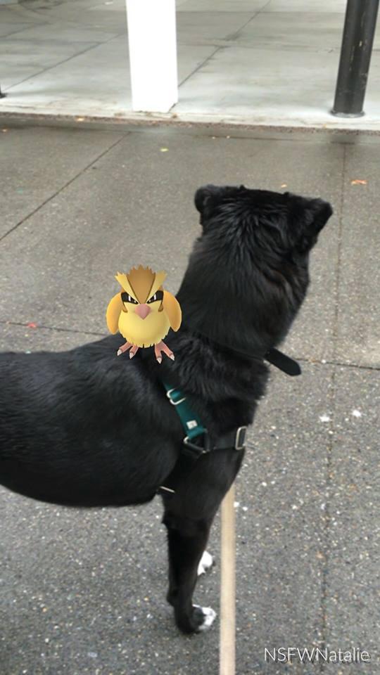 pidgey on my back pokemon go dog