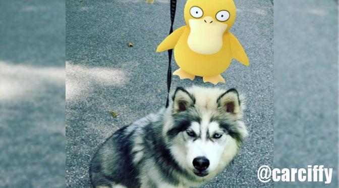 psyduck husky pokemongo dog walkers