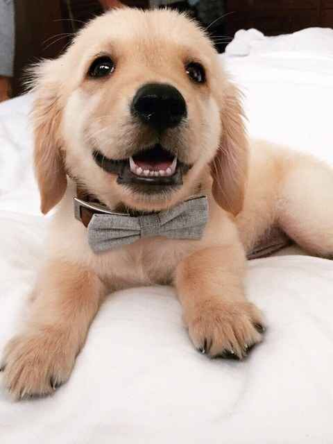 puppy in a bow tie golden retriever