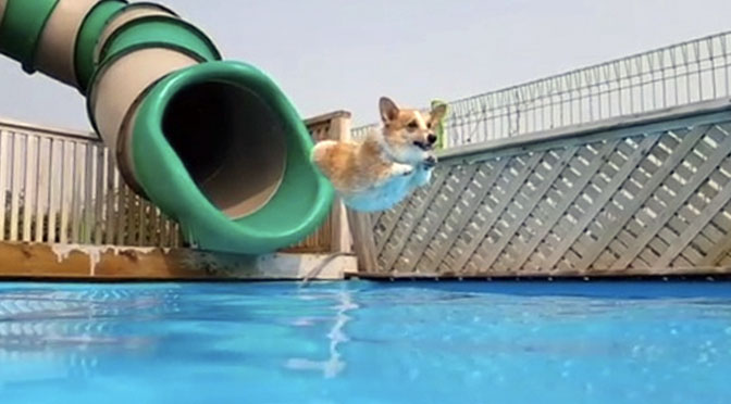sam the corgi dog waterslides corgi