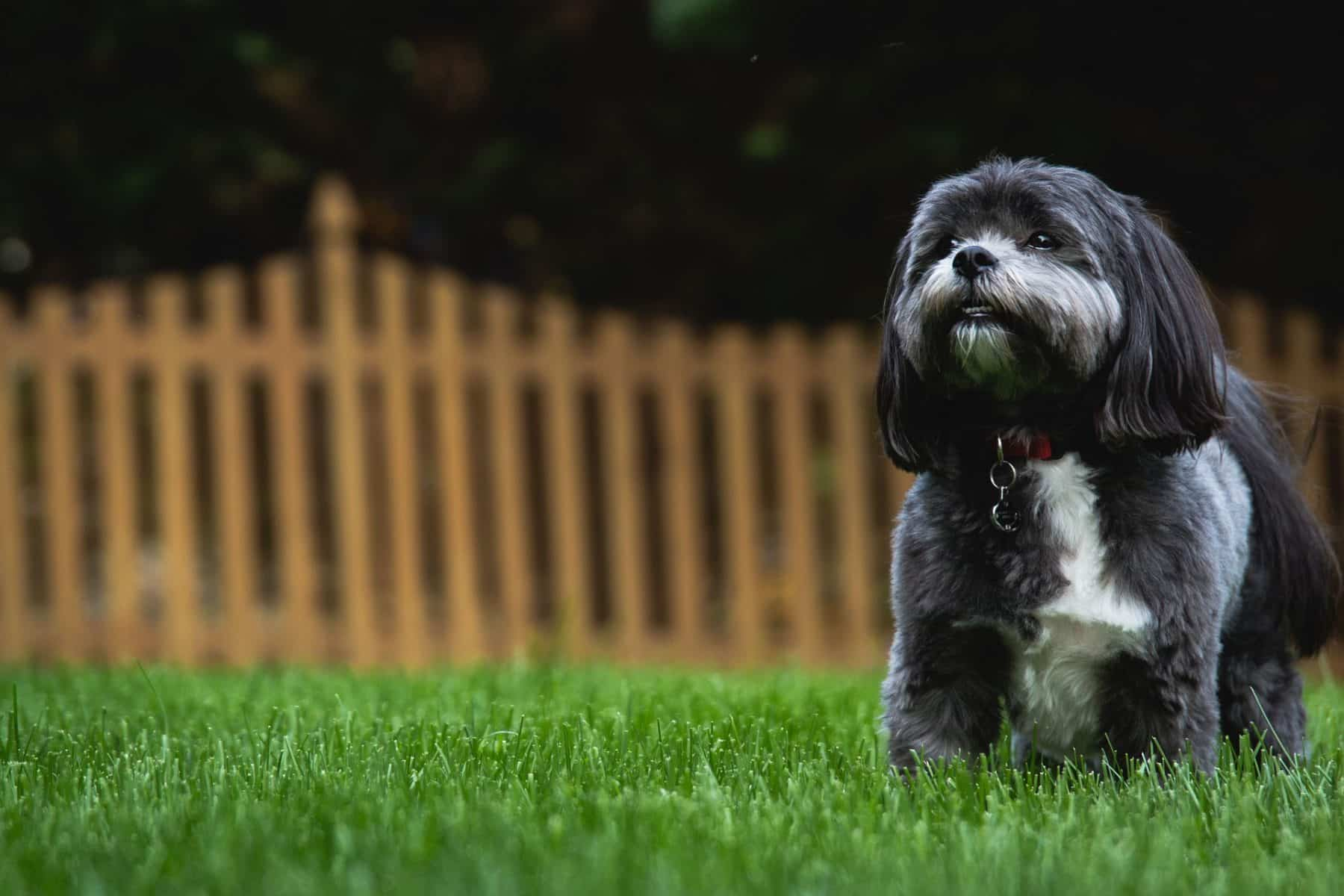 The Top 5 Shih Tzu Haircut Styles The Dog People By Rover Com