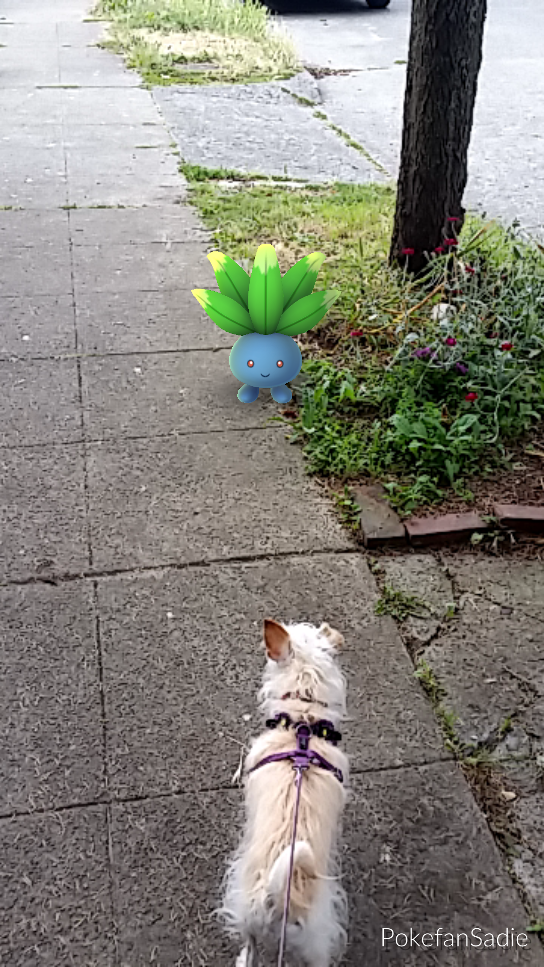 terrier oddish pokemon go walk