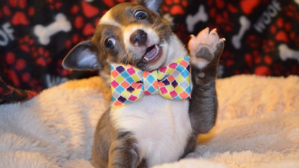puppy in a bow tie waving