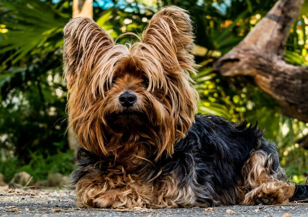 12 Things Only Yorkshire Terrier People Understand The Dog People By Rover Com