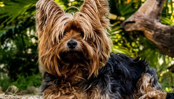 12 Things Only Yorkshire Terrier People Understand