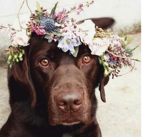 dog in wedding flower crown lab