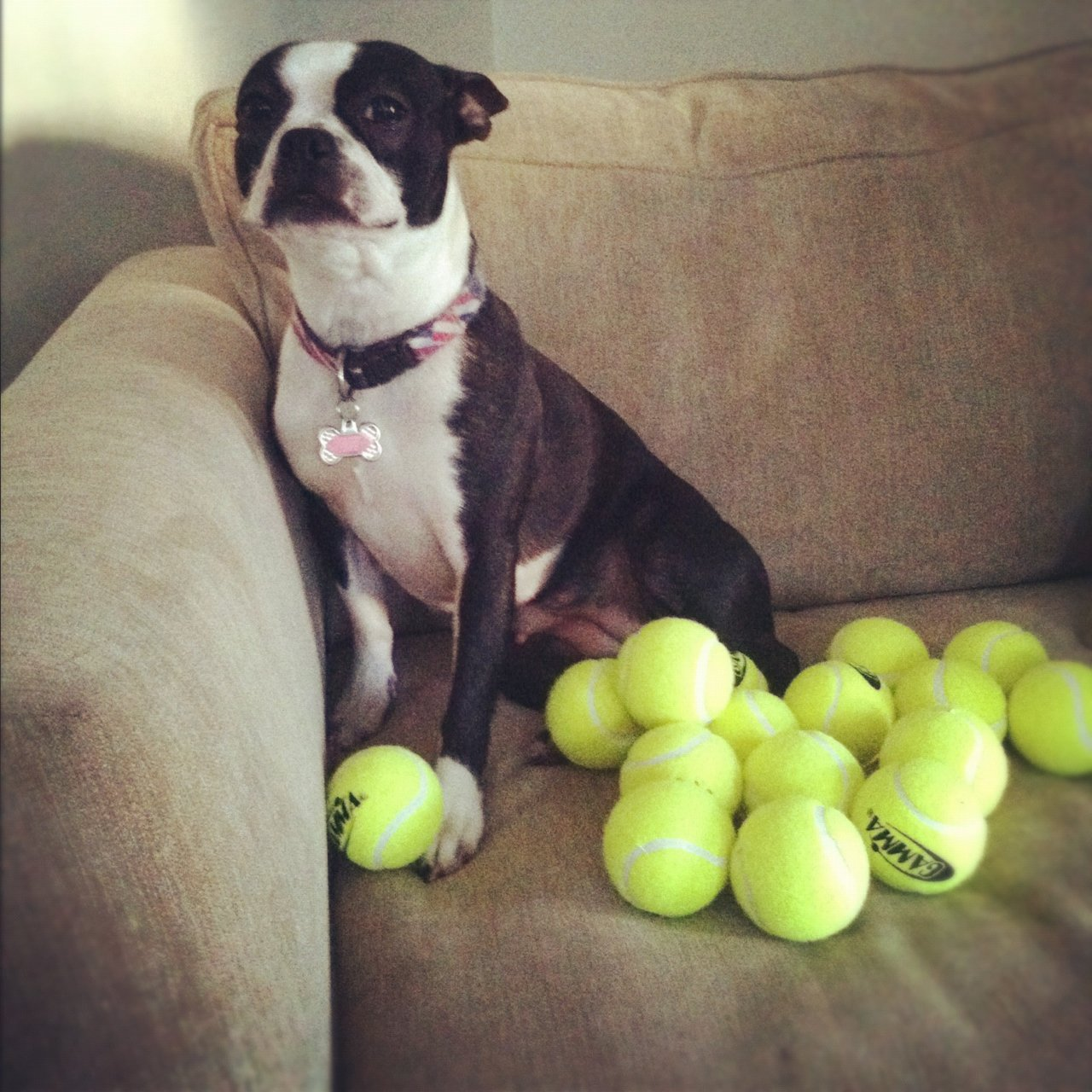 boston terrier rich in tennis balls