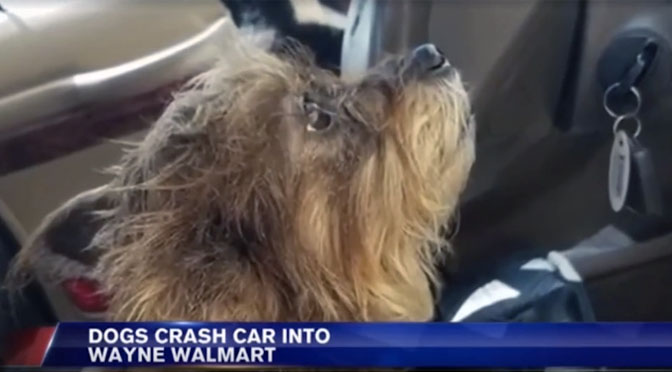 dogs crash car into walmart