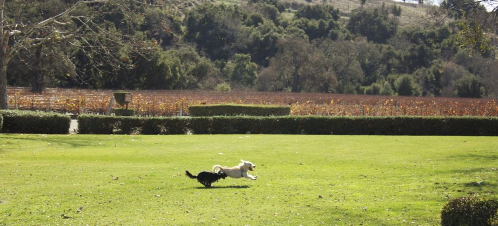There is plenty of room for dogs to run and play on the Fess Parker grounds. Photo via Wine-Ding Road.
