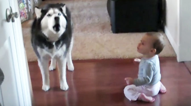husky does perfect baby imitation