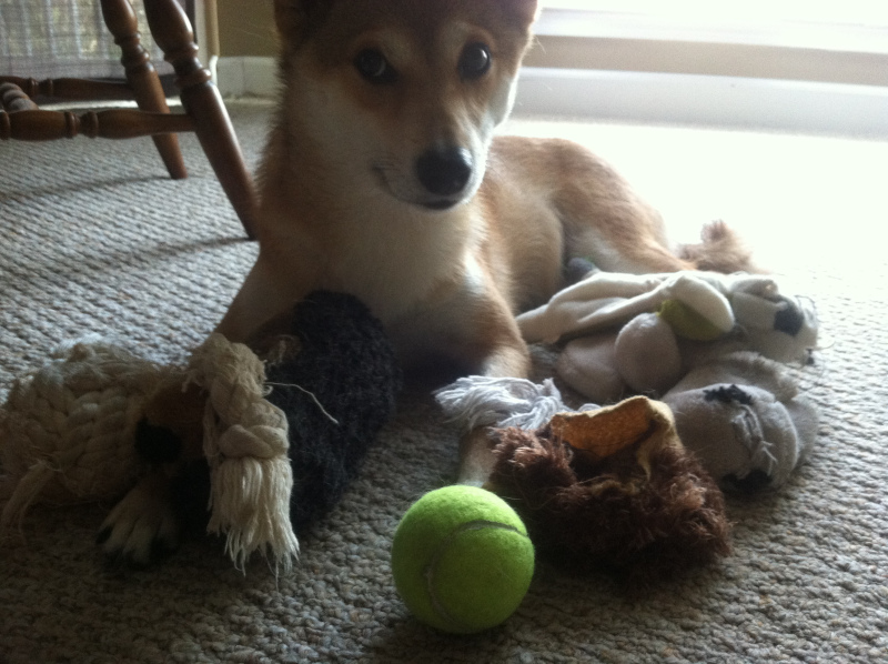 not even a little bit sorry toy hoarding dog