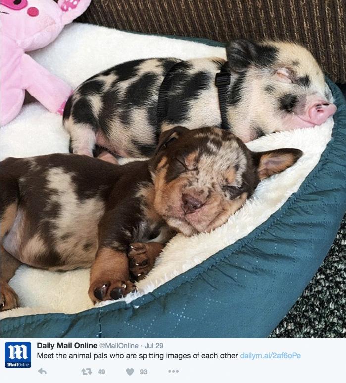 pig dog twinning