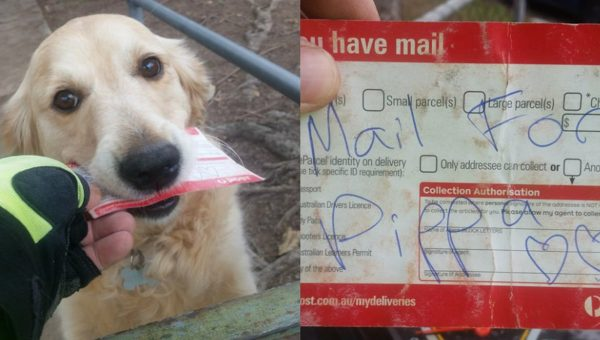 Pippa the Golden Retriever Lives to Fetch the Mail, and We Live to Watch Her Do It