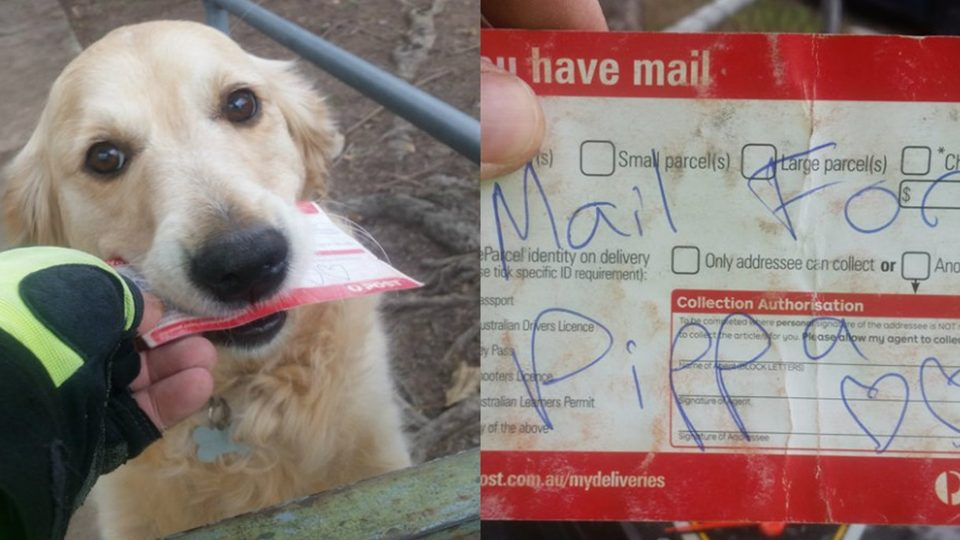 pippa the golden retriever who loves getting mail