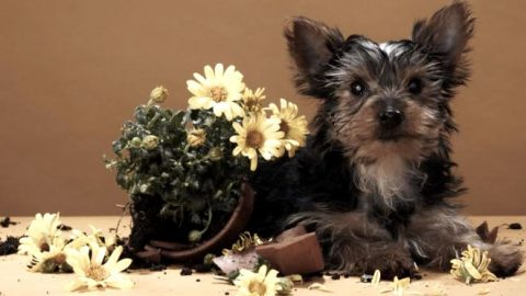 top 10 most poisonoush houseplants for dogs