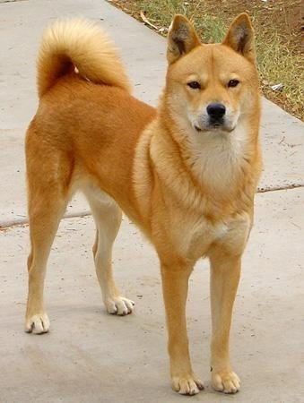 A fawn-colored Jindo.