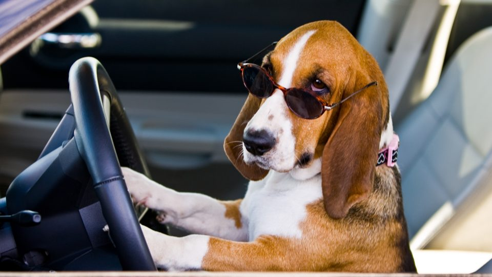 The weakest and strongest memory animals The most powerful eagle in the world The most powerful eagle in the world basset hound driving 960x540