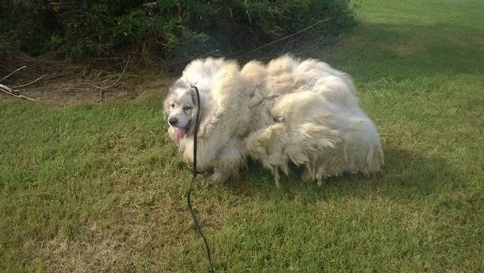 great pyrenees rescue before haircut