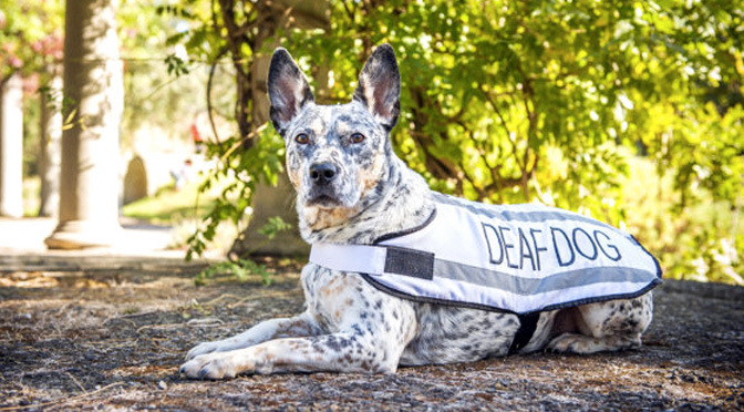 Deaf Dogs 101 The Dog People By Rover Com