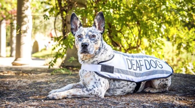 deaf-dogs-101