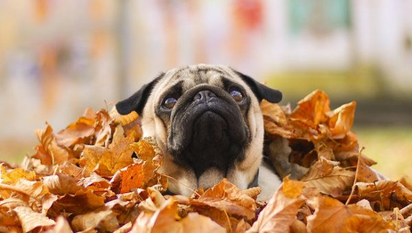 These 13 Pugs Are Ready for Fall and They're Not Leaving Until You Are, Too