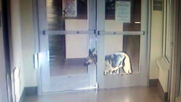 German Shepherd's Amazing Jailbreak Just Might Find Her a Forever Home