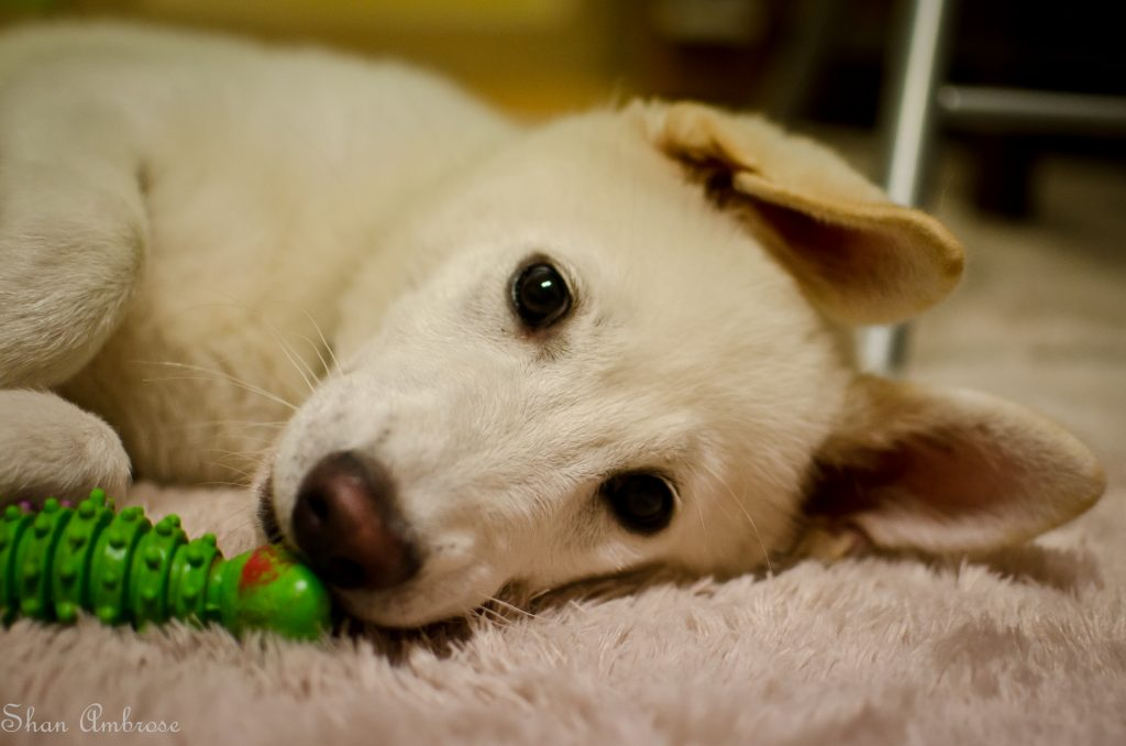 jindo-with-toy