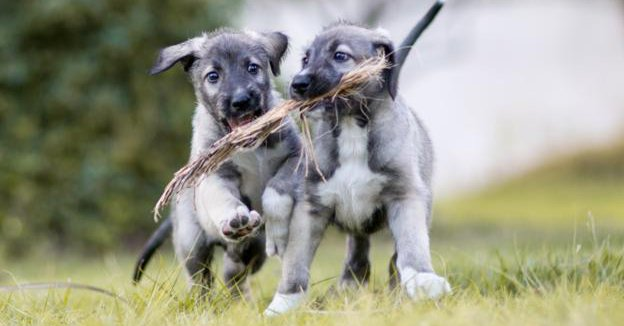 south african wolfhound dog twins