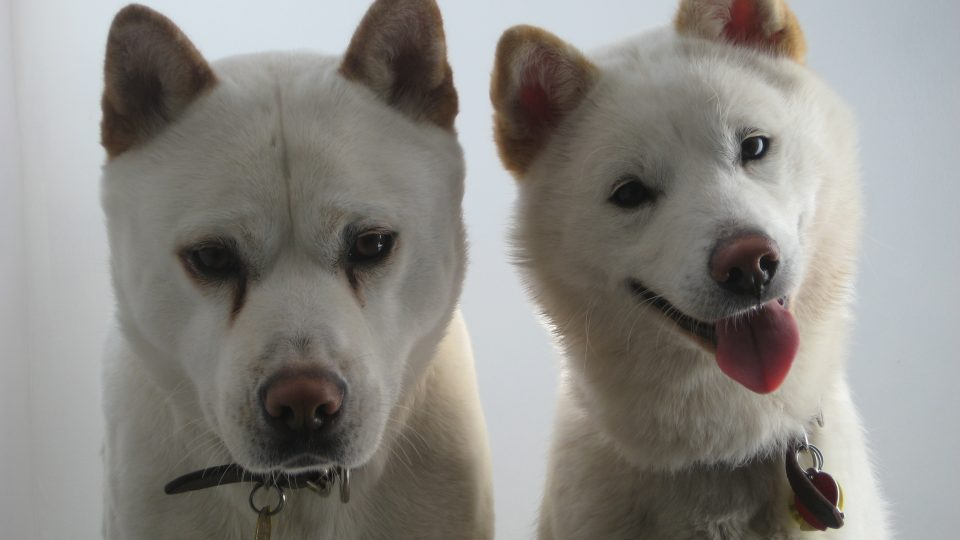 The Jindo Dog: Your Complete Guide to Korea's 53rd National