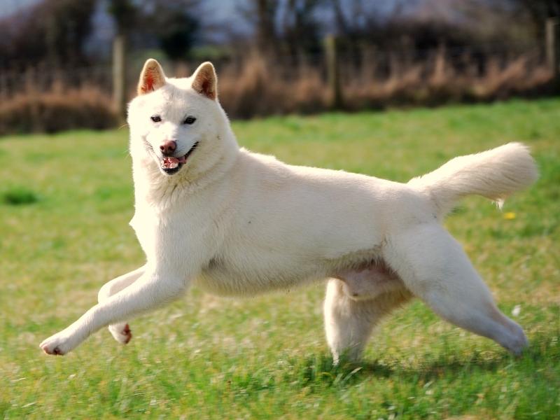 korean jindo dog facts