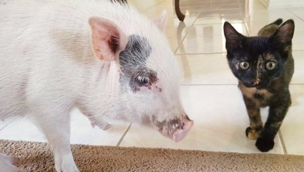 Pig and Kitten are Best Friends and the Cutest Thing You'll See Today