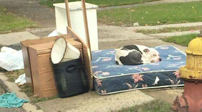 boo-the-pitbull-was-abandoned-by-his-family