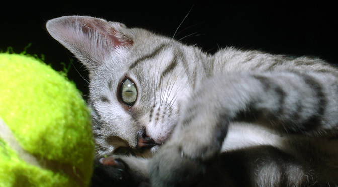 cat-playing-with-tennis-ball-cats-doing-dog-things