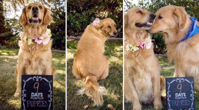 chanel-golden-retriever-maternity-photo-shoot