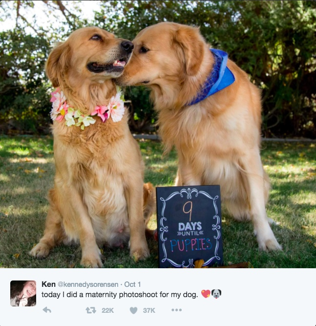 chanel-golden-retriever-maternity-photoshoot-tweet