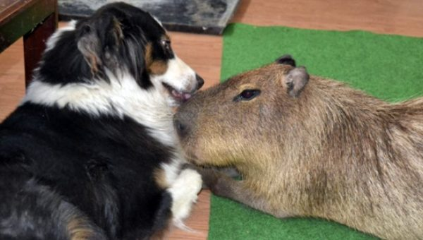 JoeJoe the Capybara Loves His Dog Friends. He's Also the World's Largest Rodent.