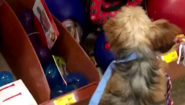 Puppy Mill Survivor Gets to Pick Very Own Toy after 10 Long Years [Video]