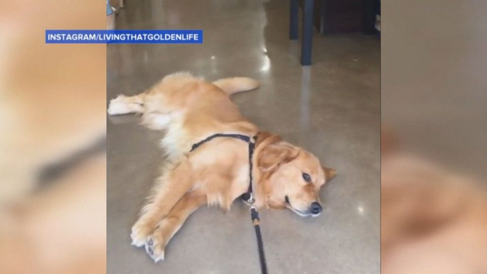 Golden Retriever Refuses To Leave Pet Store In Hilarious Video The