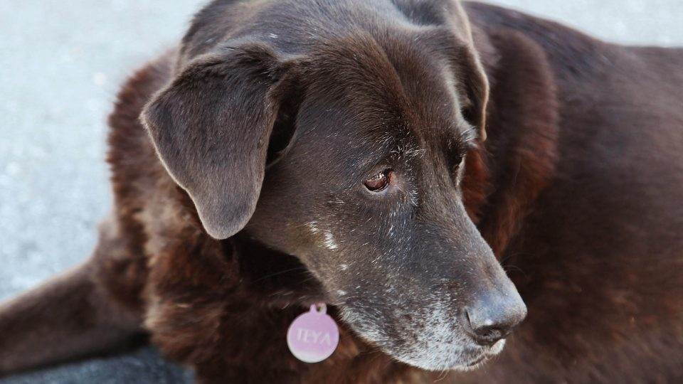 Mobility Problems for Older Dogs: Helping Your Dog Get Around