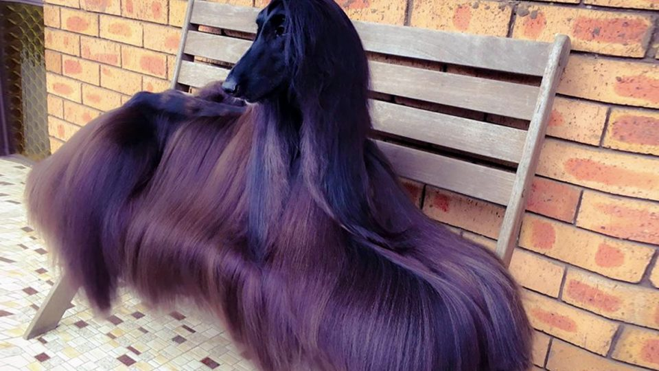 Tea the Afghan Hound