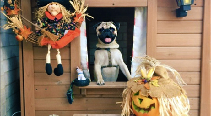 tyson-pug-halloween-doghouse