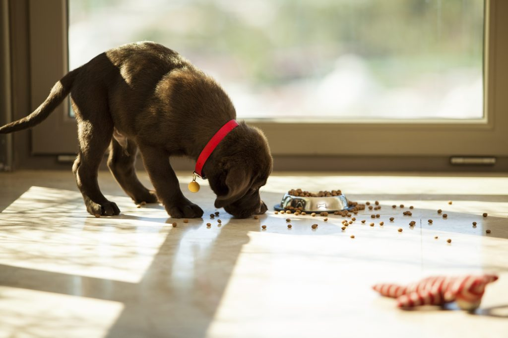 At What Age Can Puppies Eat Dry Food