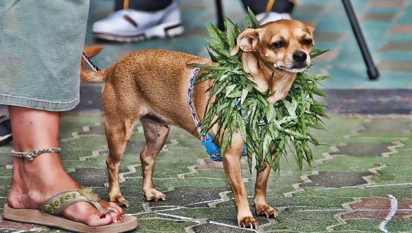 Medical Marijuana for Dogs: Everything You Need to Know