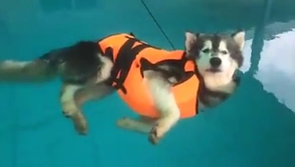 Husky Realizes How Life Jacket Works, Gives up on Swim Lesson [Video]
