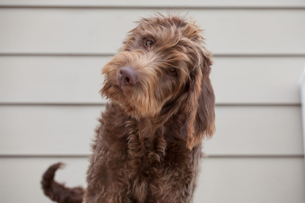 Cracking the Doodle Code  The Real Story Behind the Latest Breed     Labradoodle via flickr user Roy Niswanger