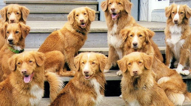 Fall In Love With The Nova Scotia Duck Tolling Retriever The Dog