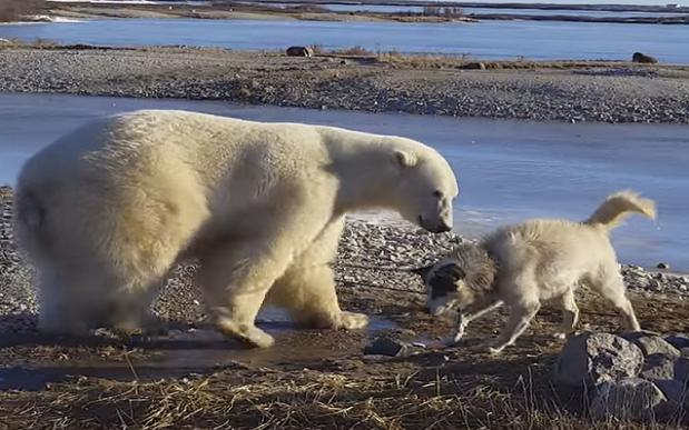 polar-bear-and-eskimo-dog-friends