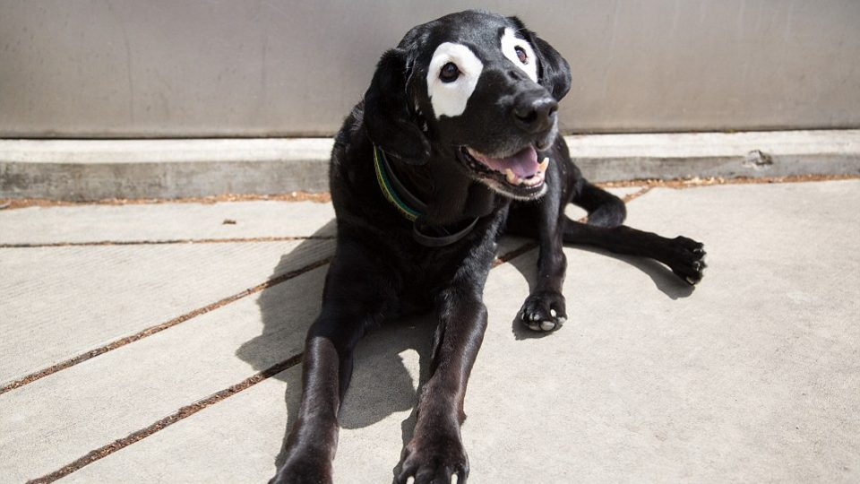 When black dogs turn white all about dog vitiligo the dog people by rover com