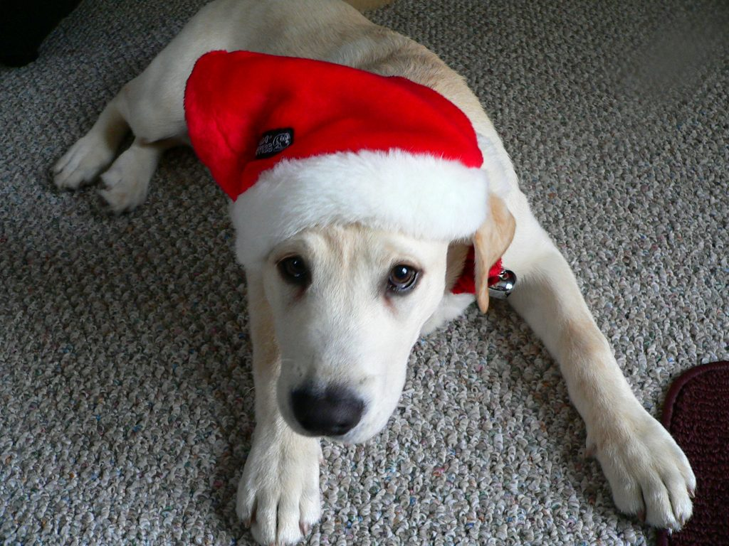 can my dog eat candy canes? holiday dogs want to know